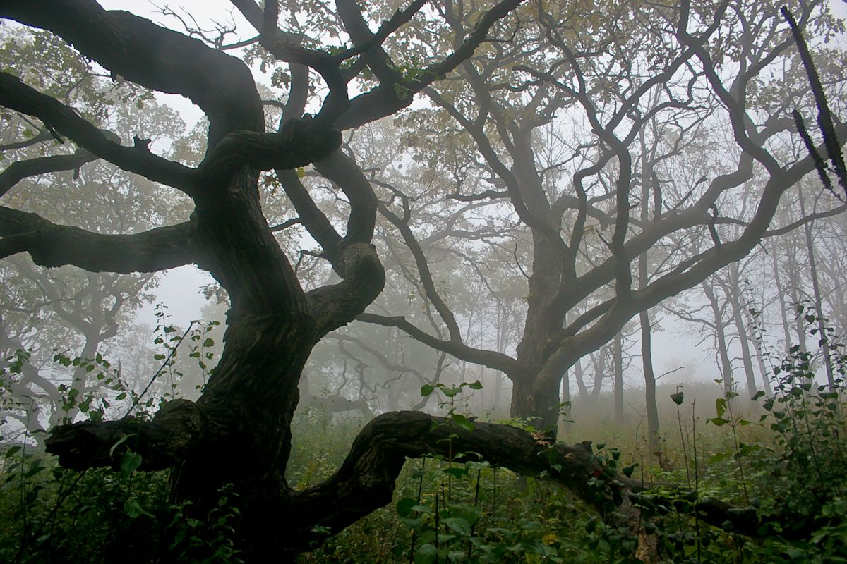 Fog creates a spooky ambiance on the old oak savanna on Garvin Heights in Winona, MN. Photo by Cynthya Porter www.visitwinona.com