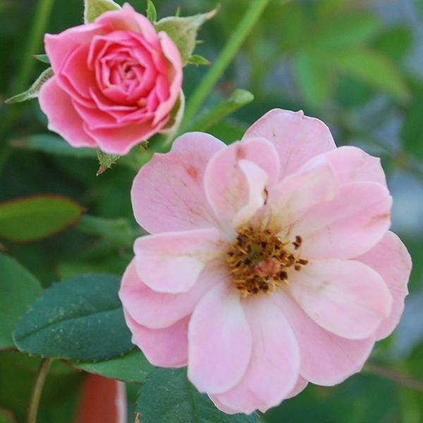 Sunrosa Soft Pink #rose is the perfect petite bloomer for small landscapes or balcony container #gardens.