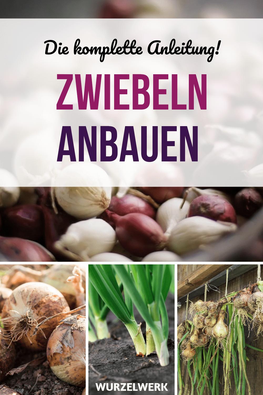 Zwiebeln Stecken Anbauen Und Ernten Die Komplette Anleitung Wurzelwerk Zwiebeln Stecken Anbauen Und In 2020 Growing Vegetables Harvest Onions Growing Onions