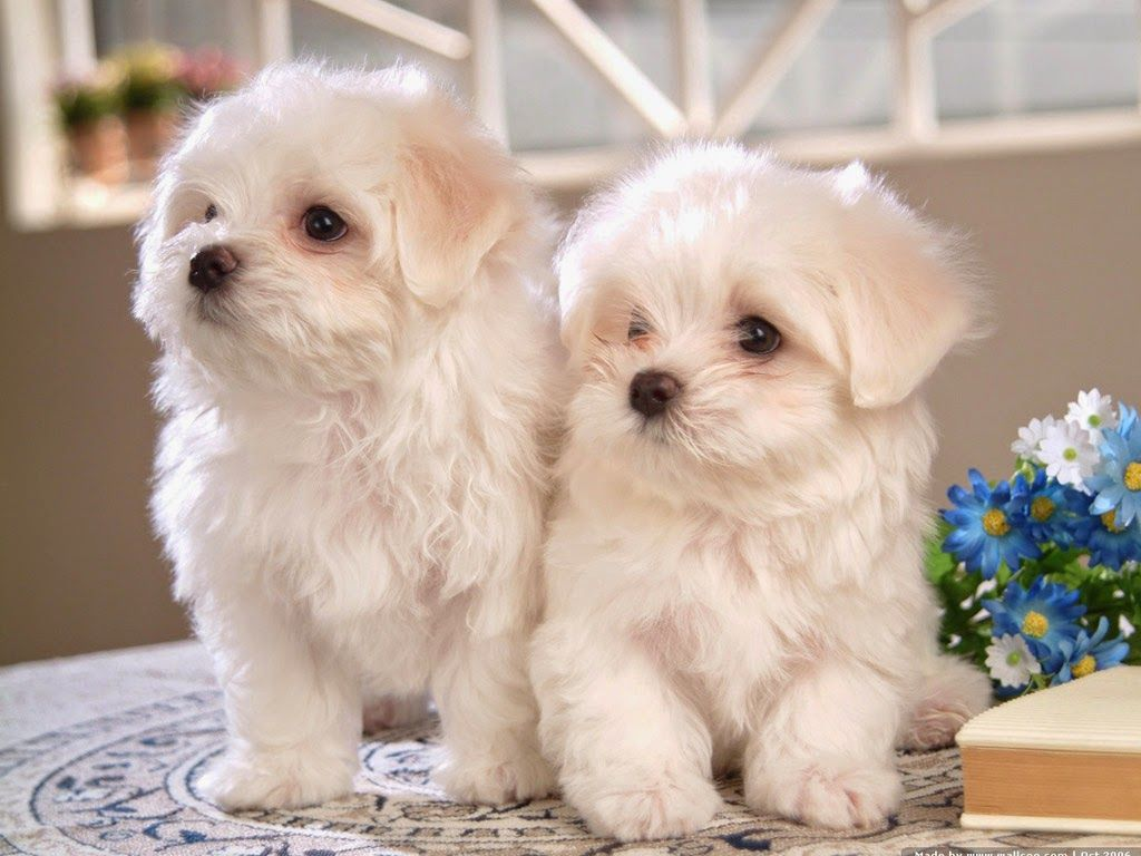 Cuddly White Maltese Puppies Cute Dogs Bichon Frise Puppy