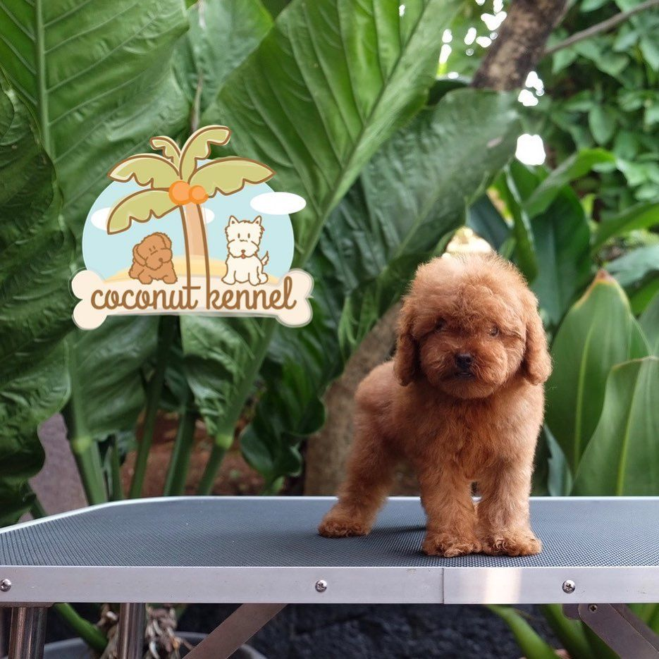 For Sale Super Tiny Female Red Toy Poodle Grab It Fast