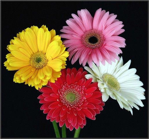 Gerbera Daisies In Four Colors Jpg Gerbera Daisy Types Of Flowers Gerbera