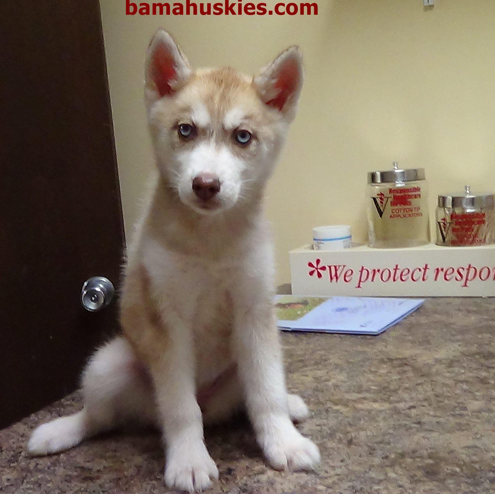 Our New Baby Husky Bama Huskies Babyhusky Our New Baby Husky