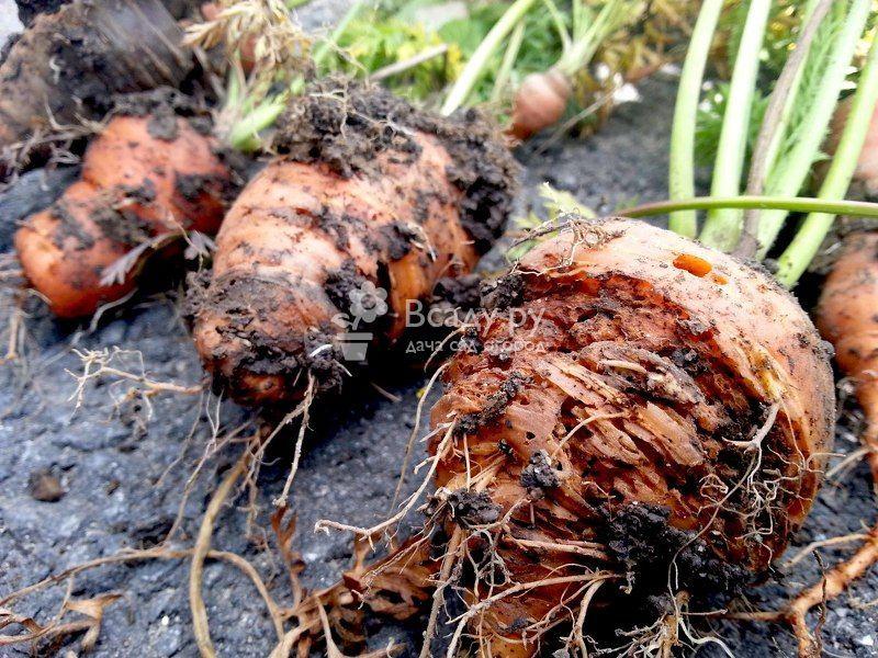 Болезни и вредители моркови и борьба с ними, фото ...