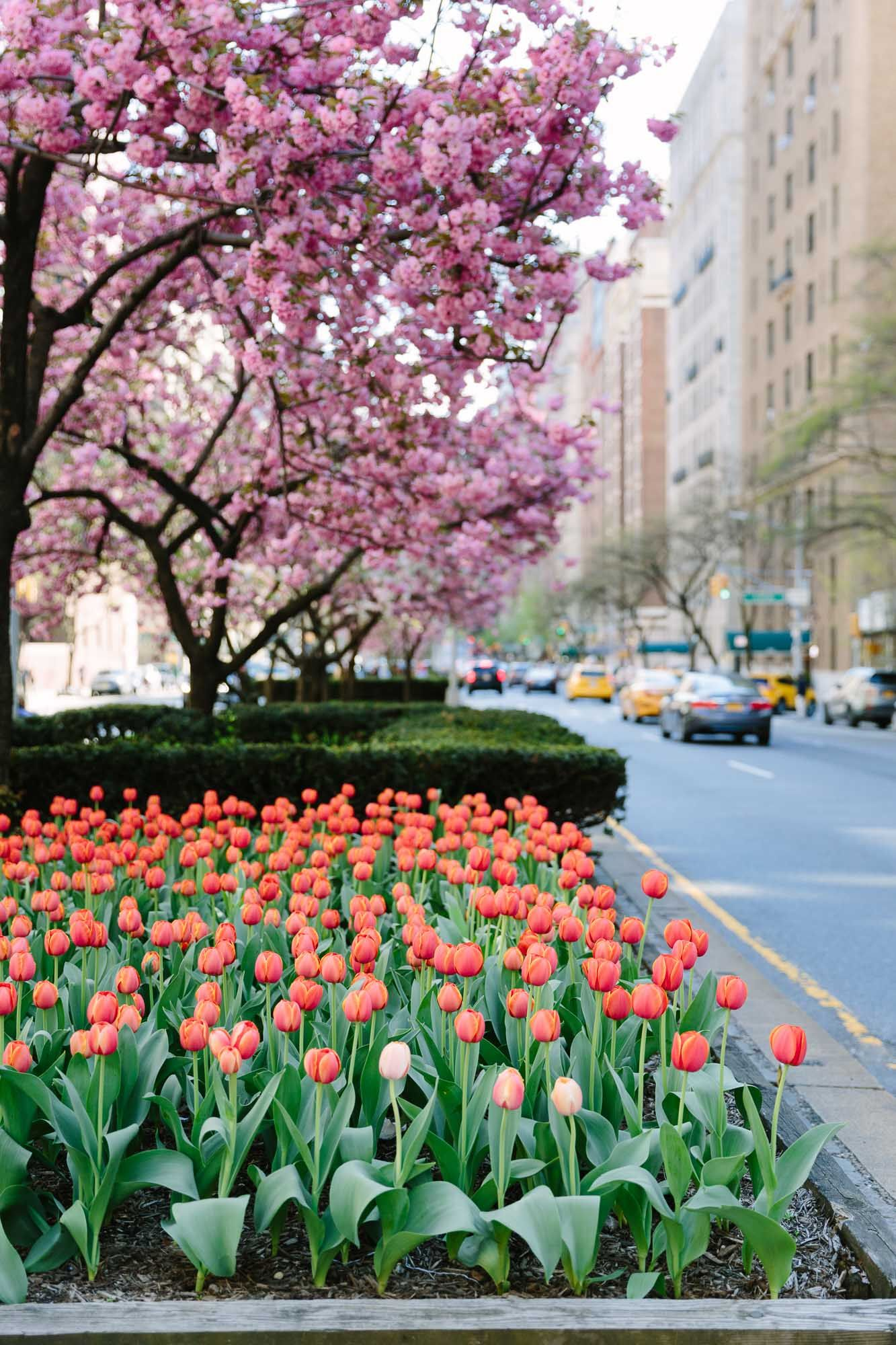 Cherry Blossoms Upper East Side Nyc Guide York Avenue Spring In New York Nyc Flowers Spring Blooming Trees