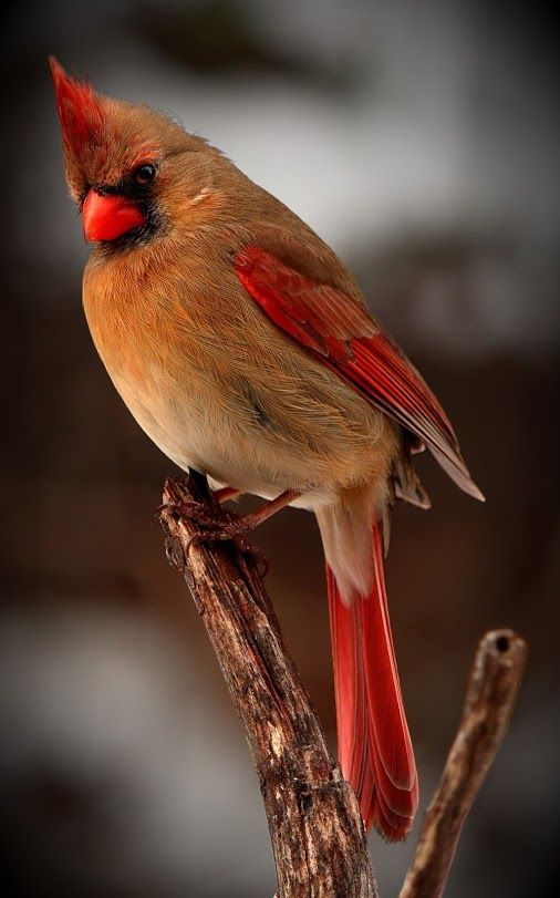 Female Northern Cardinal Birds Beautiful Birds Pretty Birds