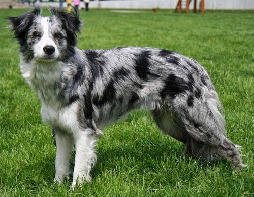 Silver Merle Catahoula Leopard Dog Border Collie Colors Blue