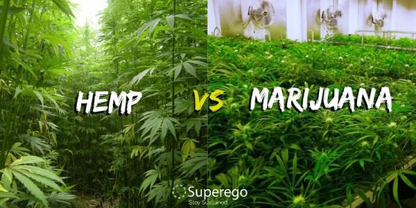 Understanding The Differences Between Hemp and Cannabis