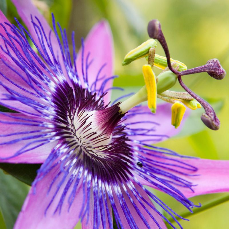 Passion Flower Extract For Occasional Nervous Restlessness Passion Flower Passion Flower Herb Herbalism