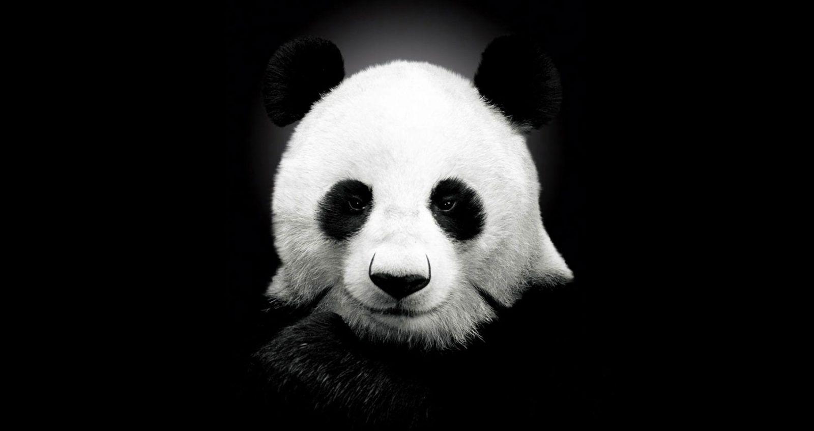 Finding Your Spirit Animal At Spillwords Com Panda Bears Wallpaper Cute Panda Wallpaper Panda Background