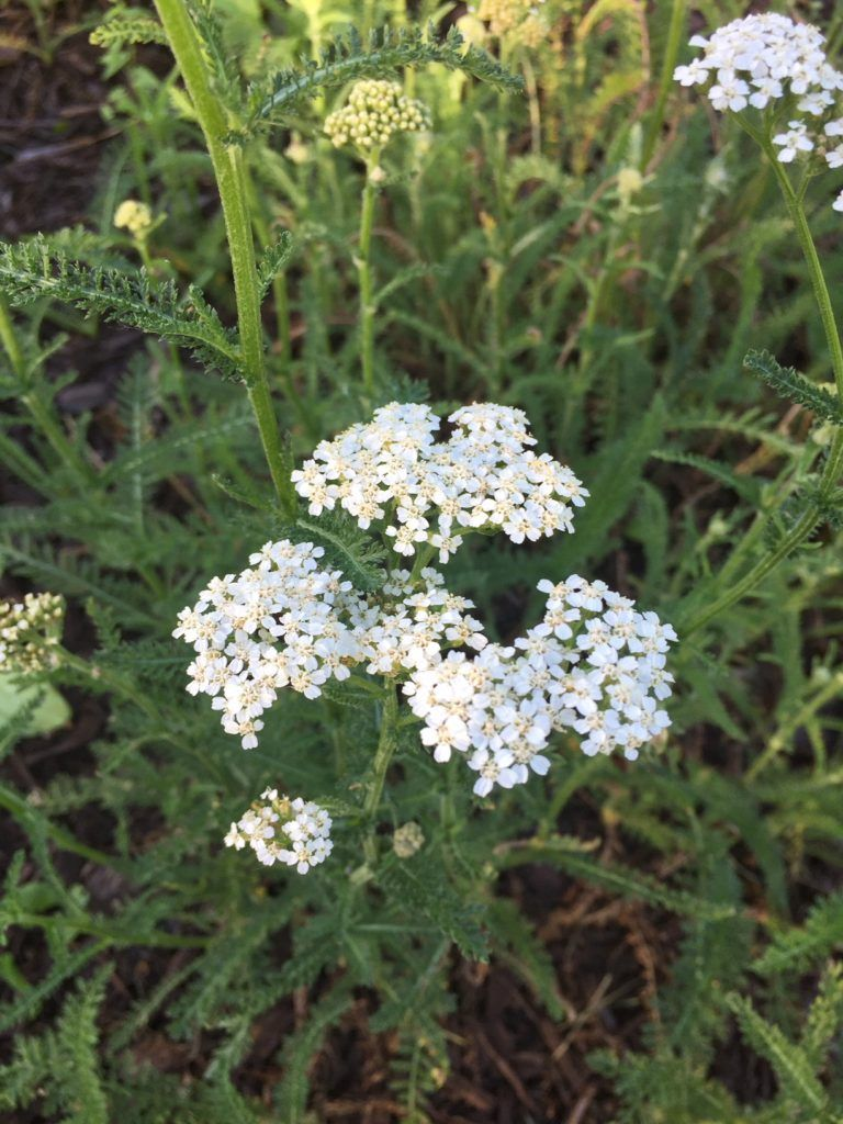 How To Use Yarrow As A First Aid Remedy My Healthy Homemade Life Recipe Herbalism Herbs Holistic Health Remedies