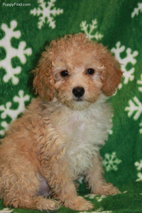 A Poochon Bichon Poodle Mix Bichon Poodle Mix Poochon Dog Poochon Puppies