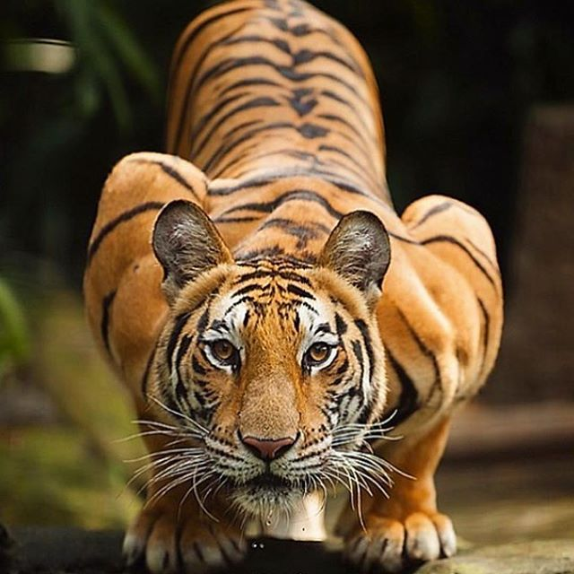 Epic Road On Instagram Crouched Cat Email Hello Epicroad Com And Let Us Plan Your Next Tiger Safari India Tigers Animals Majestic Animals Nature Animals