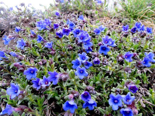 Lithodora diffusa ou gr mil diffus une vivace arbustive fleurs bleues utiliser comme - Fleurs vivaces bleues ...