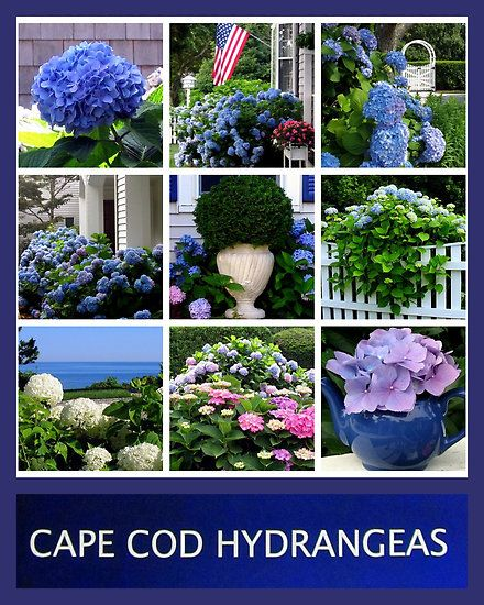 So Colorful You Have To Love The Hydrangeas! #capecod