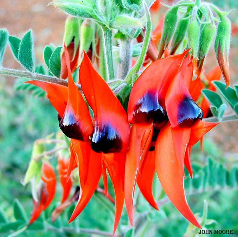 Sturt's Desert Pea, (Swainsona Formosa)  - floral emblem of South Australia.