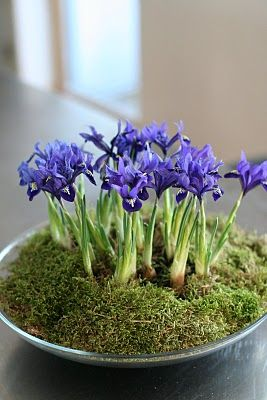 Wonderful~Iris bulbs blooming in a shallow bowl during the winter~