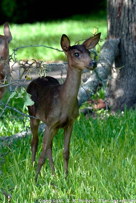This Melanistic Whitetail Fawn Shows Clear Darkening Of The Usual Brown And White Coat Pattern Though He Isn T As Whitetail Deer Black Deer Animals Beautiful