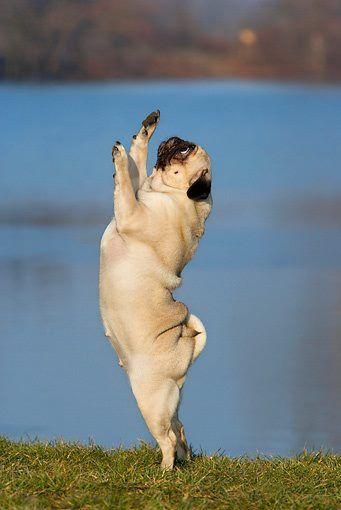 Dancing Pug Pugs Dog Yoga Cute Pugs