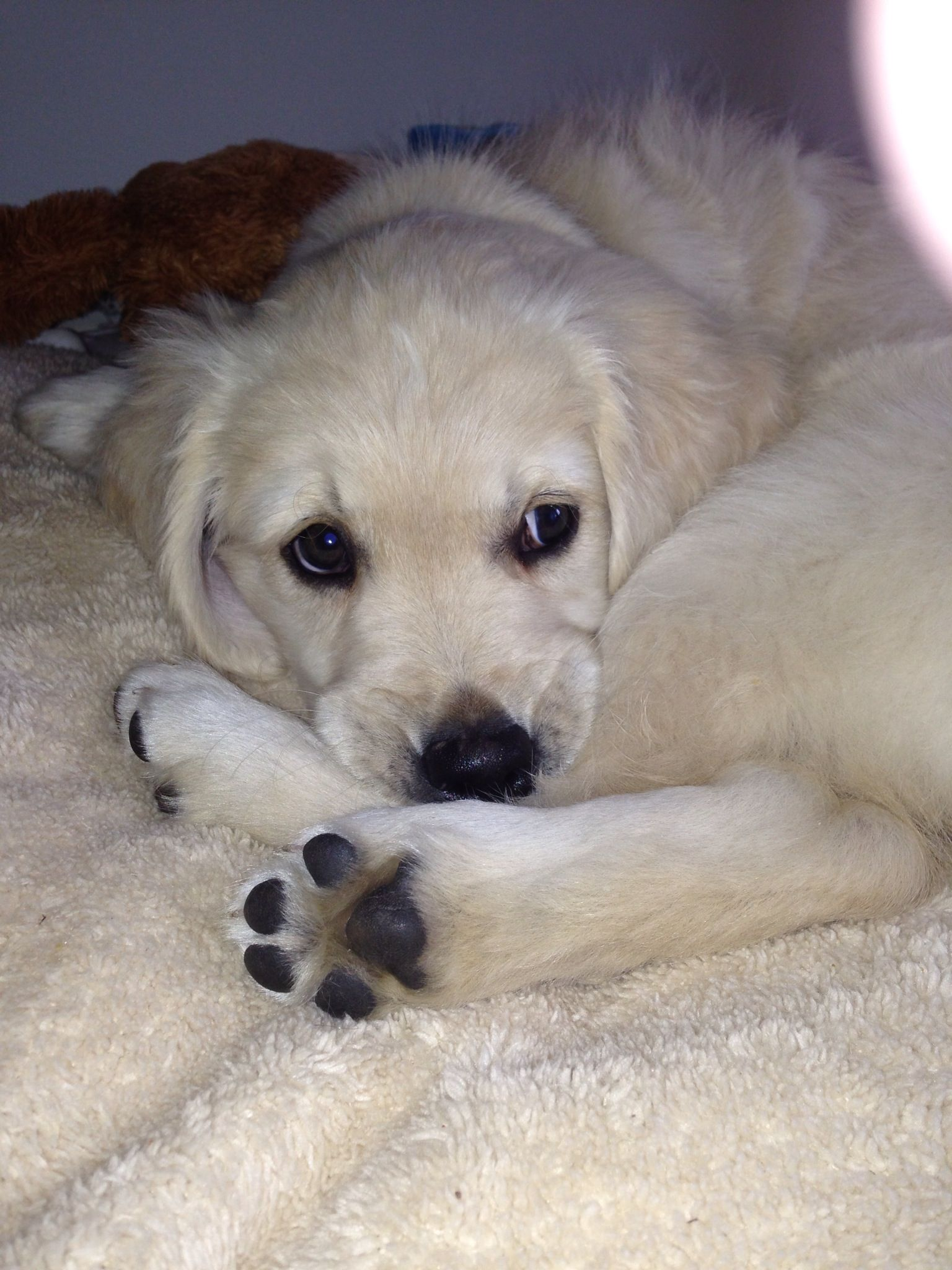 Our English Golden Retriever English Golden Retrievers English Golden Retriever Puppy Golden Retriever