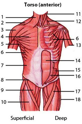 can you name the major anterior muscles of the human body? quiz by, Muscles