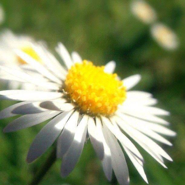 #plant #nature #amazing #sun #2012 #promoterealpics #flower #macro #supermacro #white #stem #petal #blue #daisy