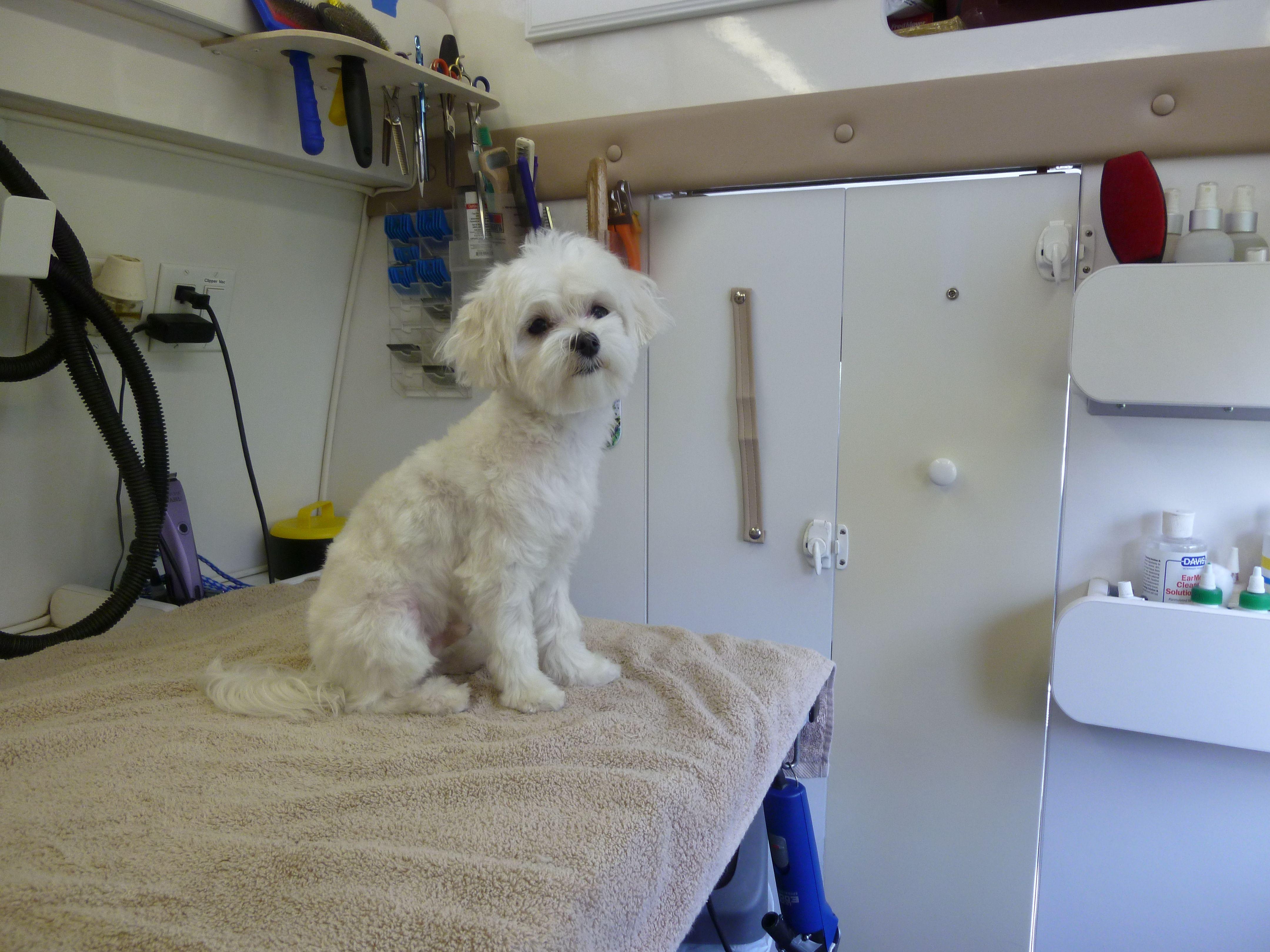 Maltese maltese dog grooming by angelas pet styling mobile maltese maltese dog grooming by angelas pet styling mobile grooming salon solutioingenieria Choice Image