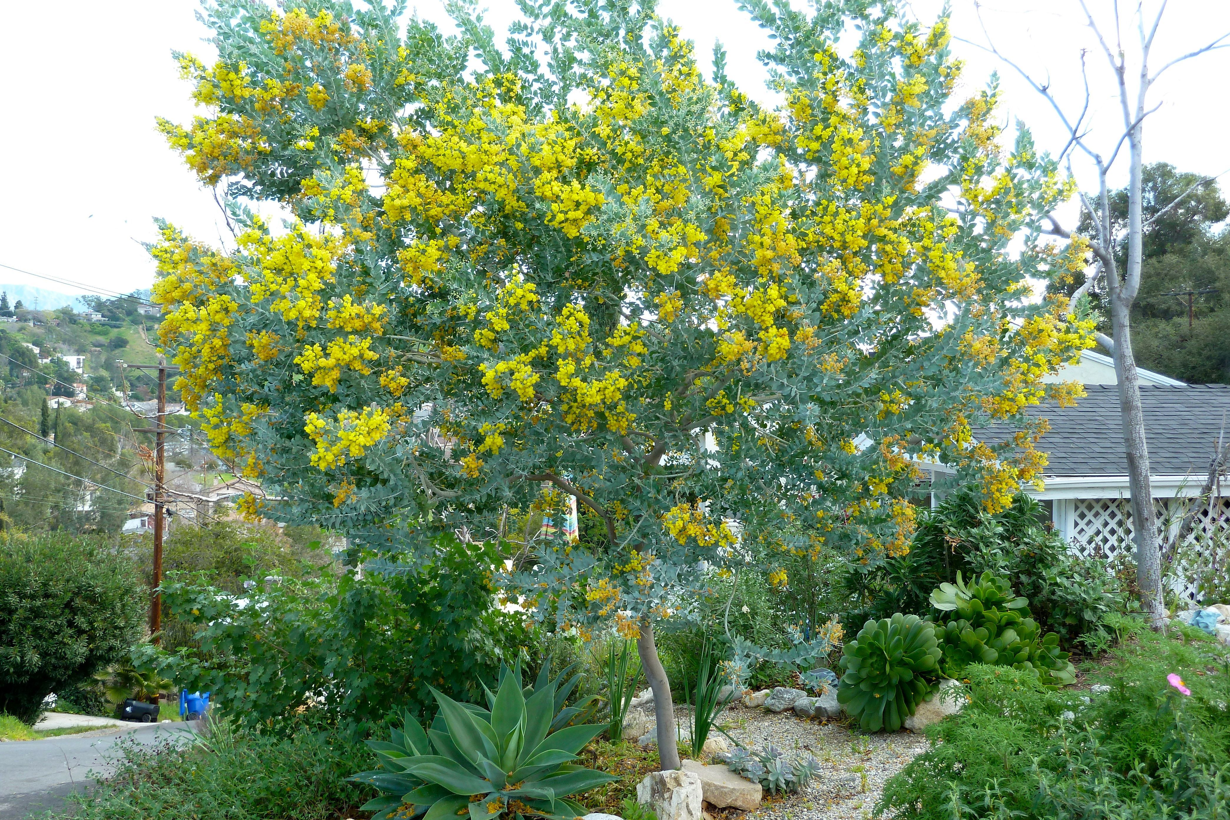 The sun sets on december and rises on january fan by sarah lovgren acacia podalyriifolia pearl acacia queensland silver wattle soft furry silvery leaves beautiful fuzzy yellow flowers green bark my fave tree mightylinksfo