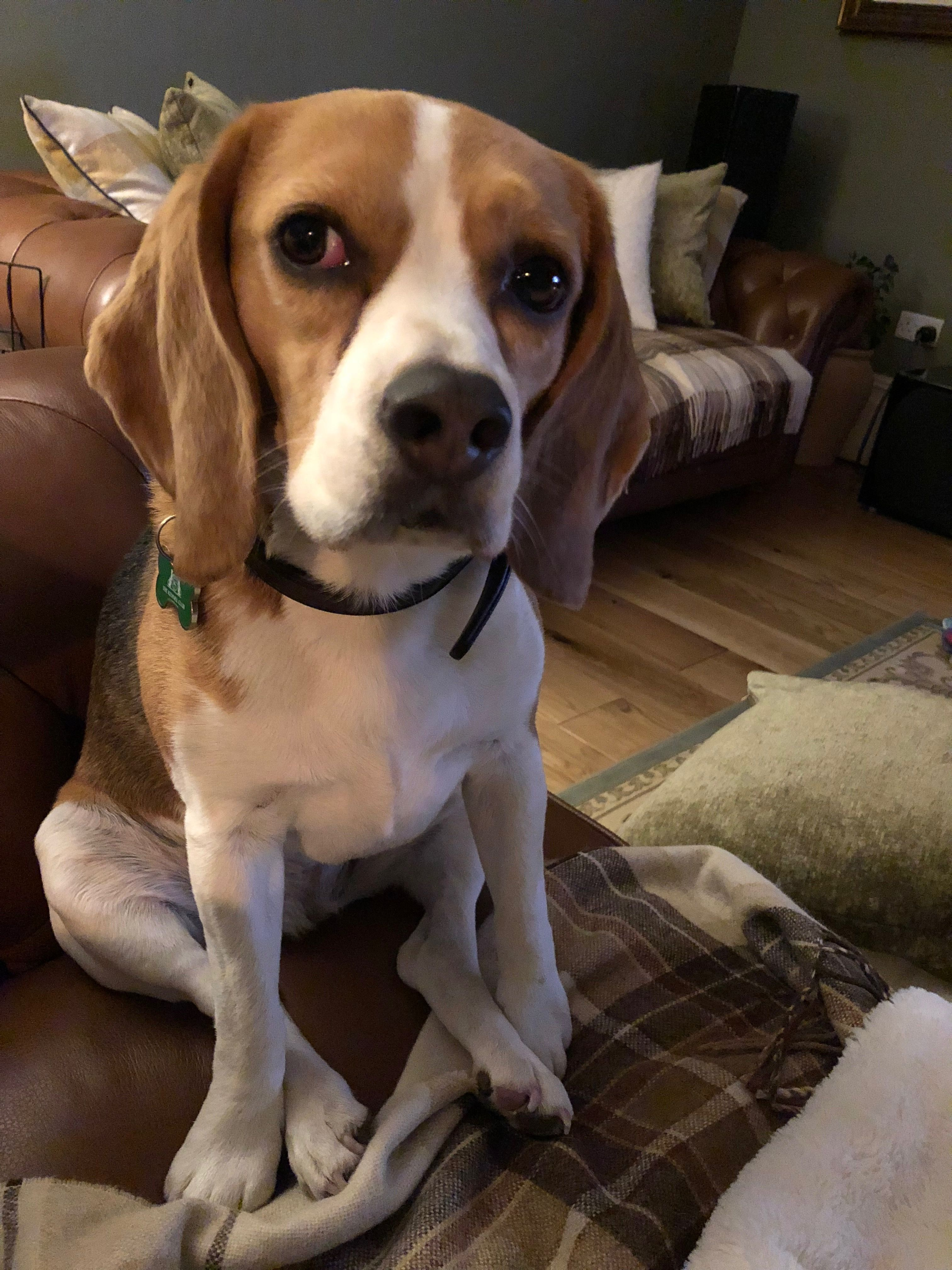 Pin By Ashley Wilson On Beagles Beagle Dogs Animals