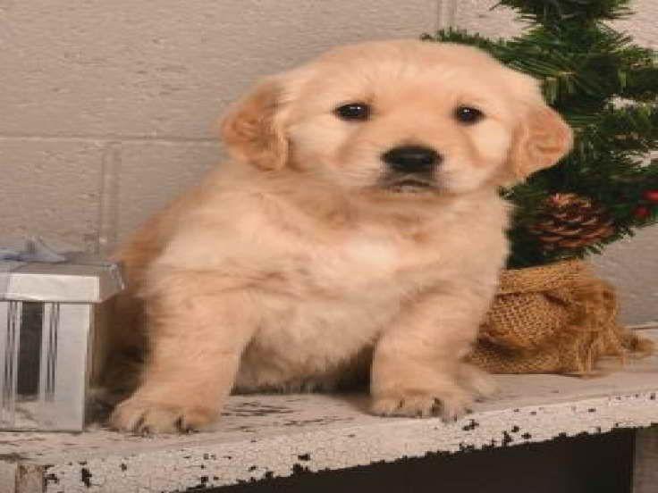 Golden retriever puppies for sale in ohio under 200