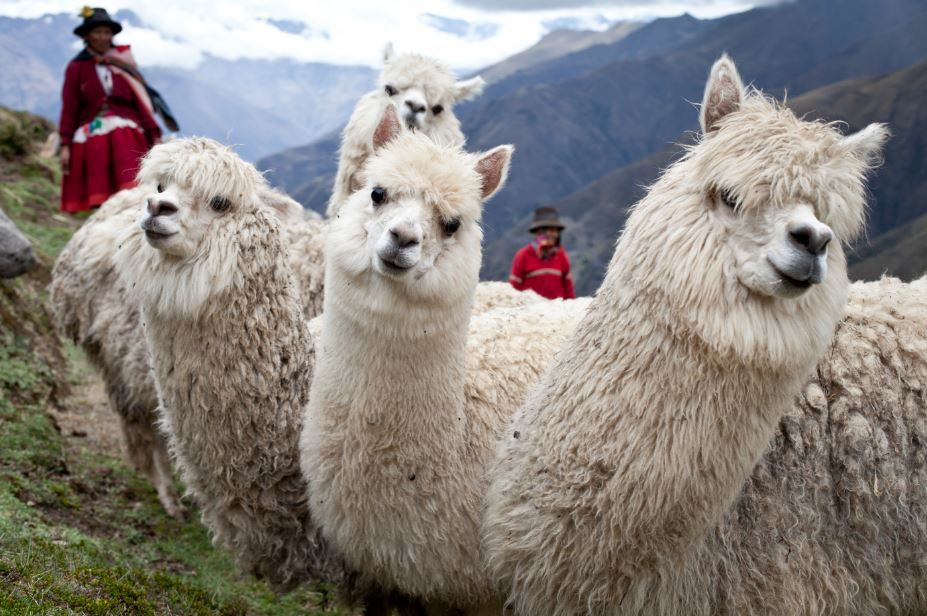One alpaca can produce up to 5 kilos of wool per year over a 15-20 year lifespan, making them even more precious than gold in the Andes Mountains! Send an alpaca to a family in need: https://catalogue.worldvision.ca/collections/animals/products/2196 #MeaningfulGifts