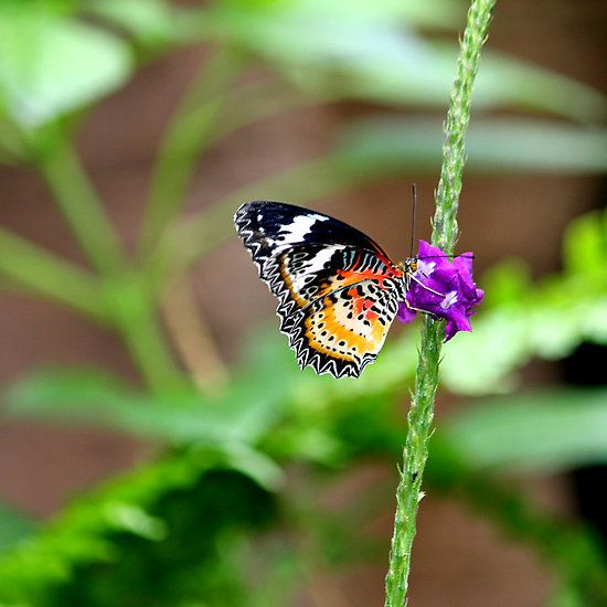 ~~ Lace wing butterfly ~~