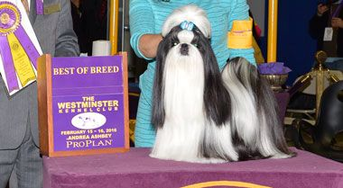 Don T Stop Believing Winner Of Toy Group Westminster Dog Show