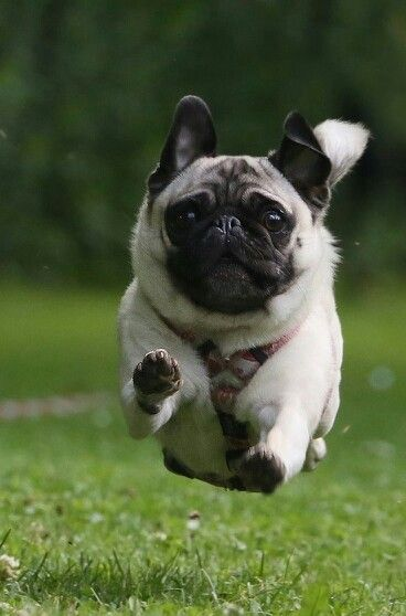 The Great Pug Race Puppies Cute Animals Cute Puppies