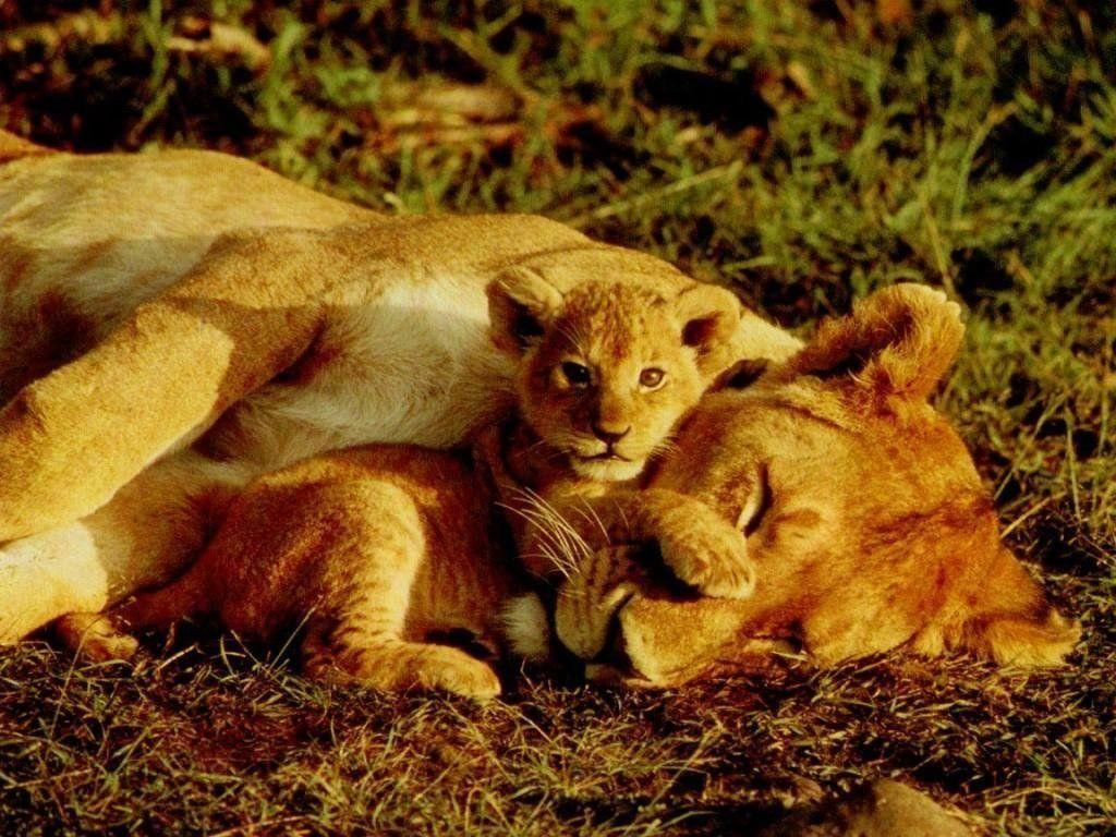 Fond D Ecran Lionne Et Lionceau Images Animaux Sauvages