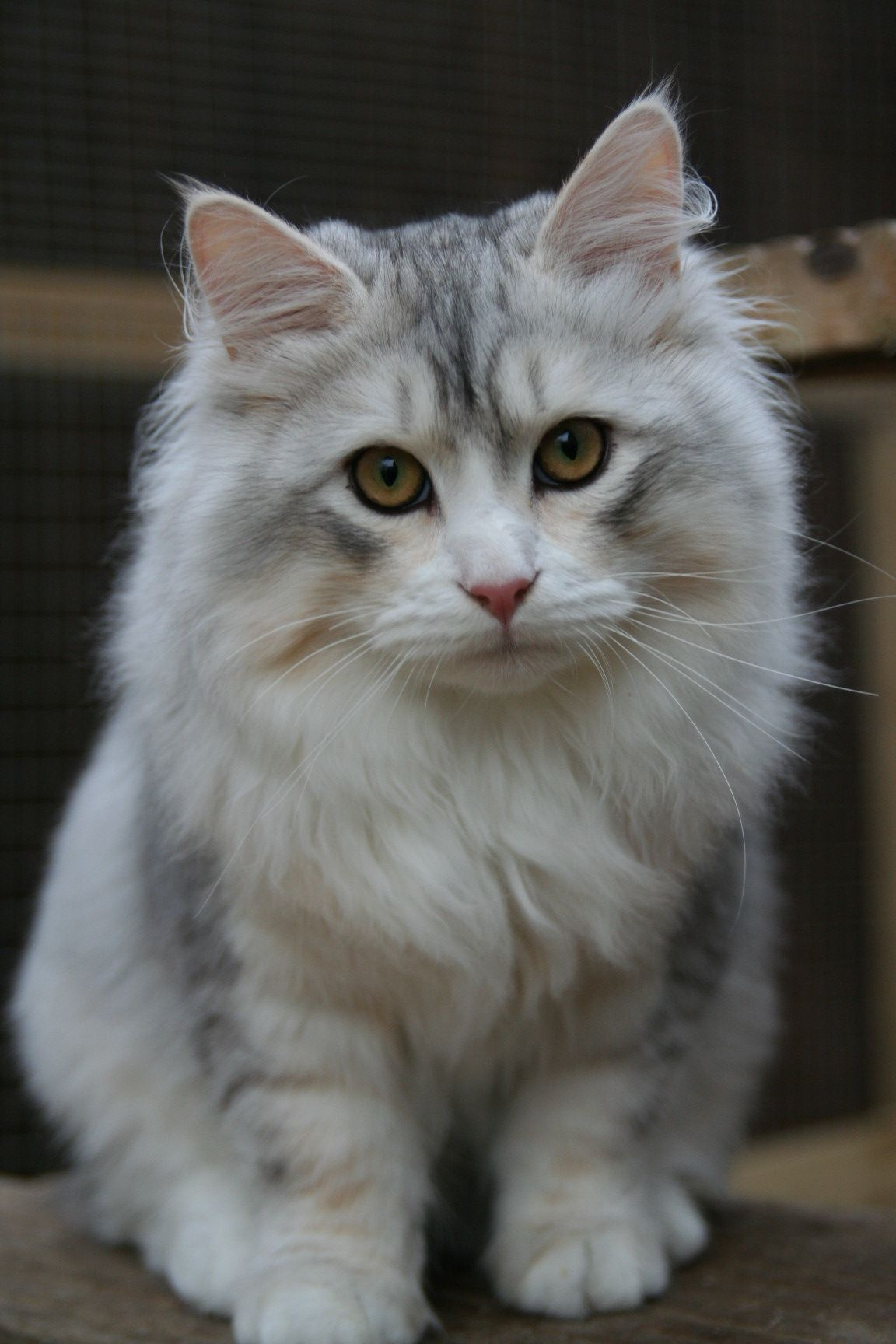 Mishka Is The First Uk Bred Siberian To Gain Best Kitten At A Tica Show Siberian Cat Cute Cats Pretty Cats