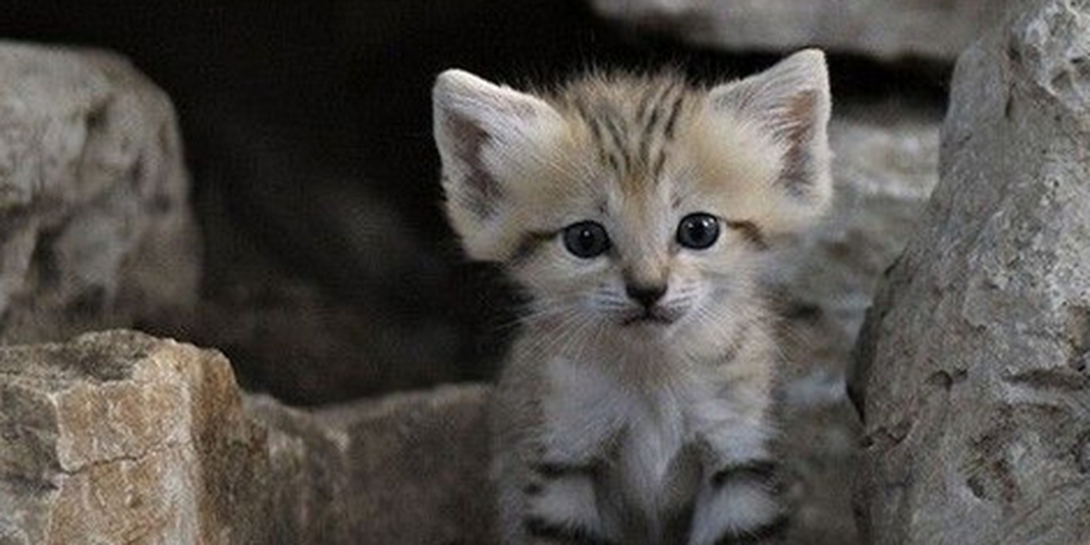 Animal Hearted on Small wild cats, Cute endangered