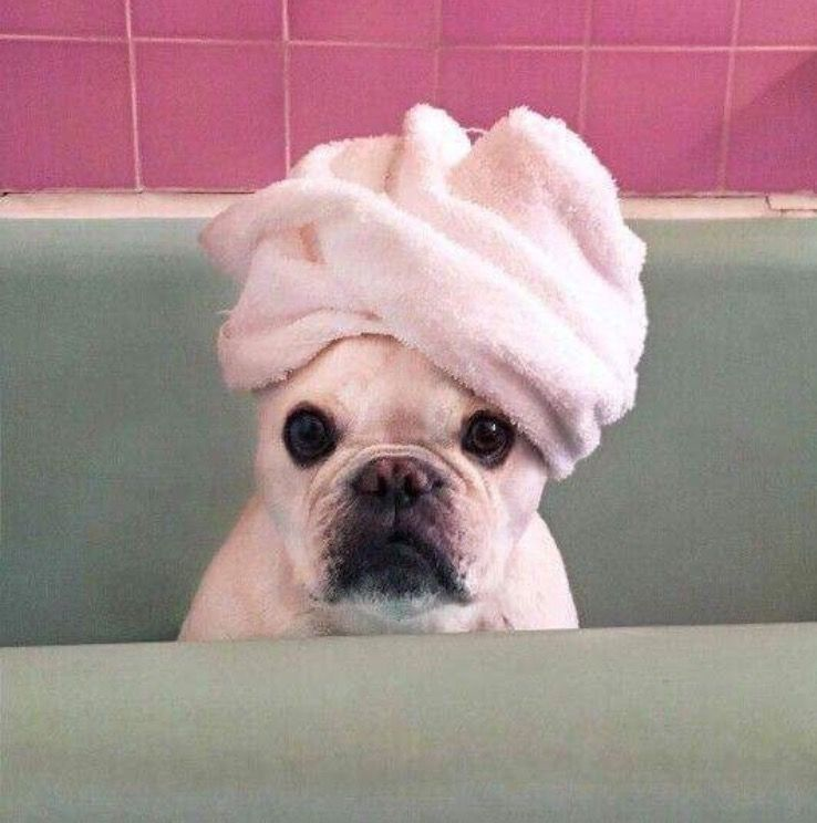 Adorable Frenchie With Towel On His Head Pink And Aqua Green