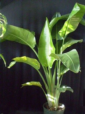 Bird of paradise is a slow growing plant with large paddle Weird plants to grow indoors