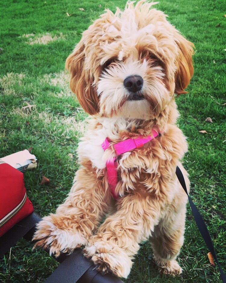 Shihpoo Poodle Mix Breeds Shih Tzu Poodle Mixed Breed Puppies