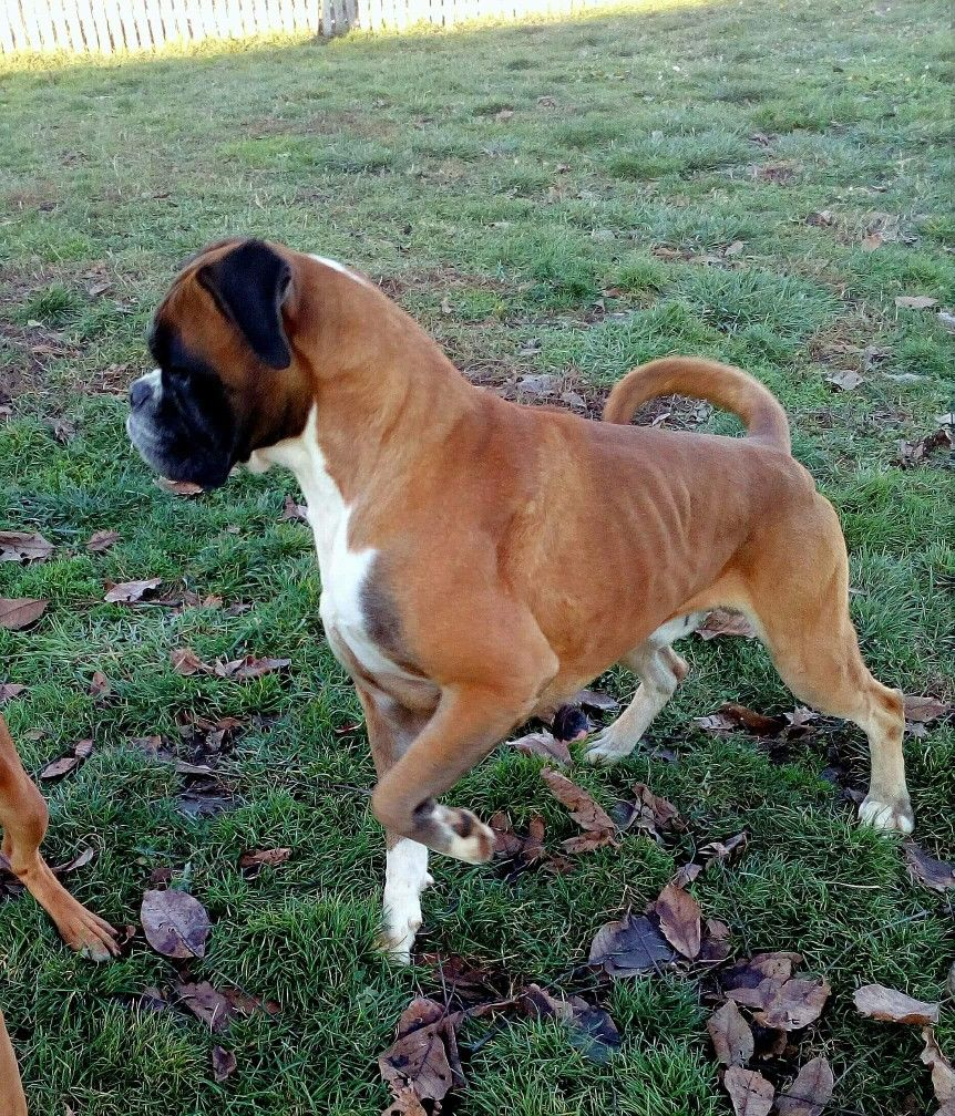 Pin by Brenda Donahue on Boxers Boxer dogs, Boxer love