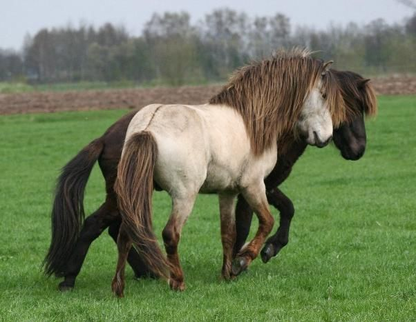 Icelandic horses  ISLNDER ____  Icelandic Horses