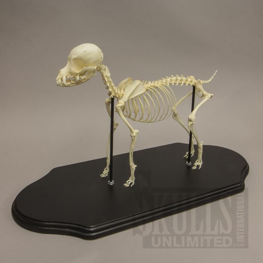Skeleton Diagram Of A Chihuahua - Trusted Wiring Diagrams •