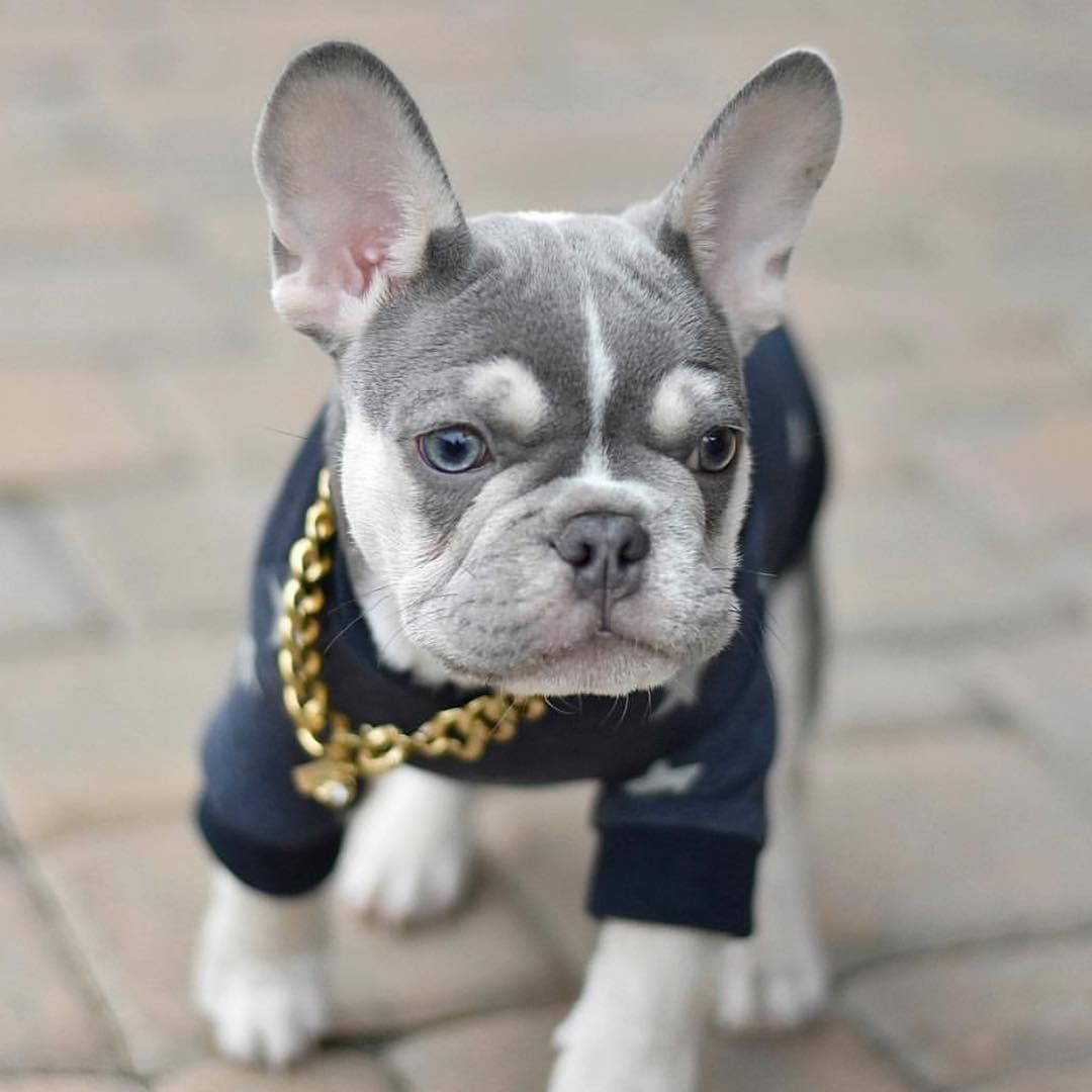 Fox Hill French Bulldog Puppies Available For Sale North Of Boston