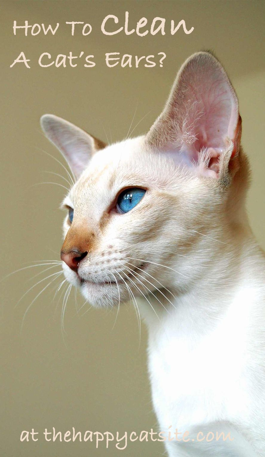 How to clean cats ears a guide to cleaning cat ear wax