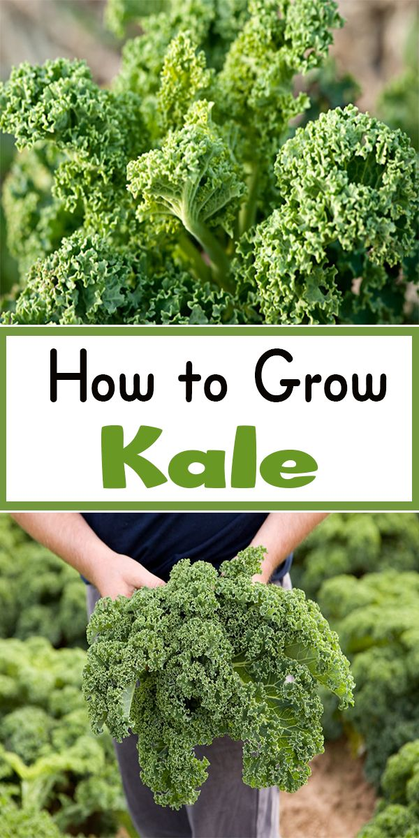 How To Grow Kale | Gardening Ready