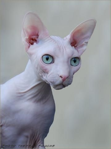 Sphynx Cats Are Known By Many Other Names The Canadian Sphynx Sphinx Moon Cat And Moonstone Cat This Hairless Kitty Was Disco Hairless Cat Sphynx Cat Cats