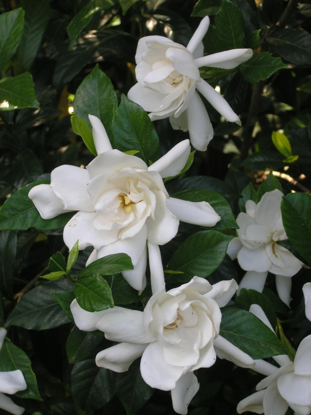 the sweet smell of growing gardenias plants gardens and winter