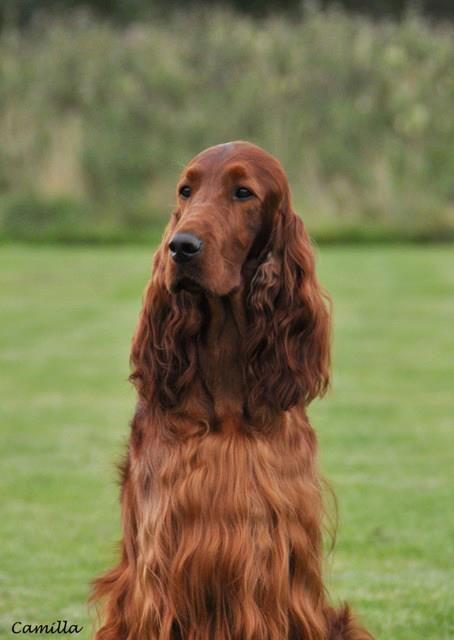 Aus Sch Nzch Setterlands Tamburello At Pendoric Irish Setter Large Dog Breeds Dog Breeds