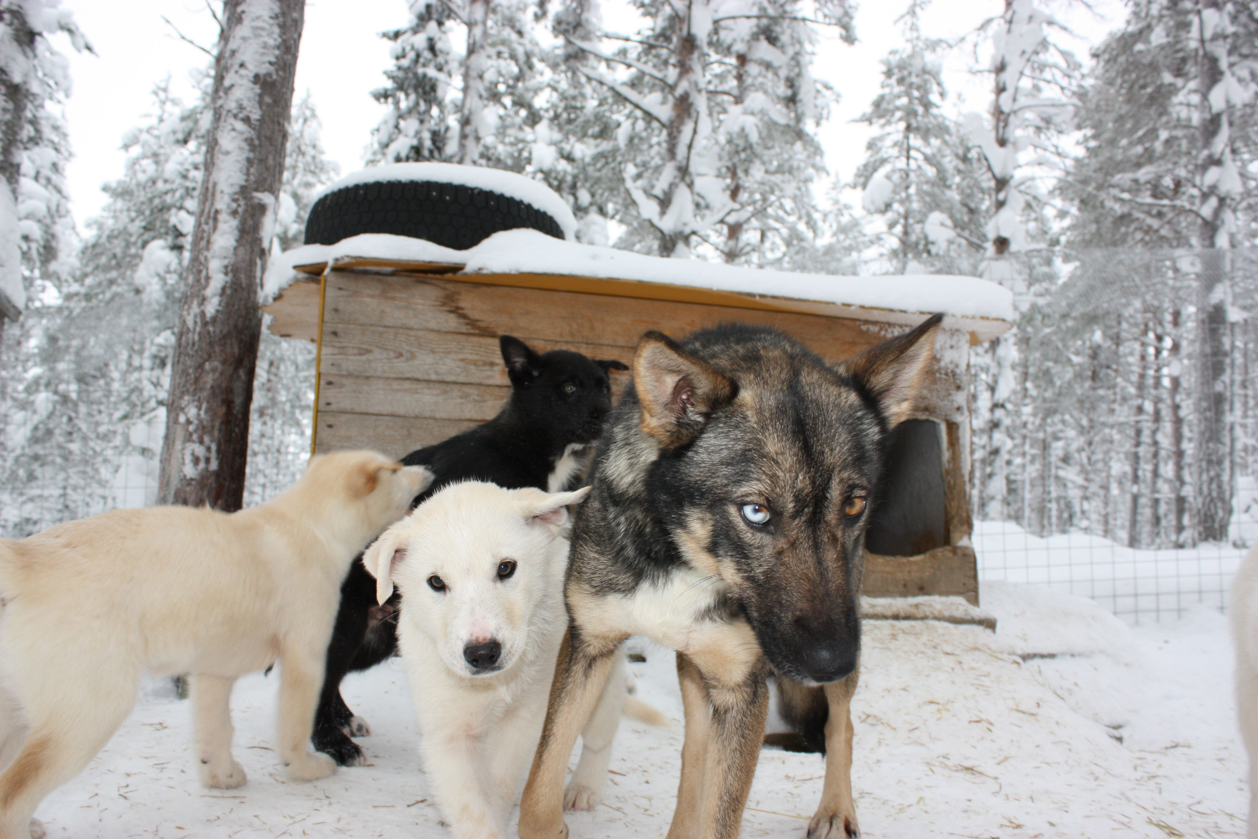 Dogsledding in Finland. Inca and pups at the main cabin.
